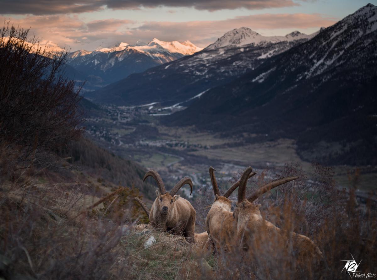 Bouquetins à serre chevalier briançon massif des cerces au coucher de soleil
